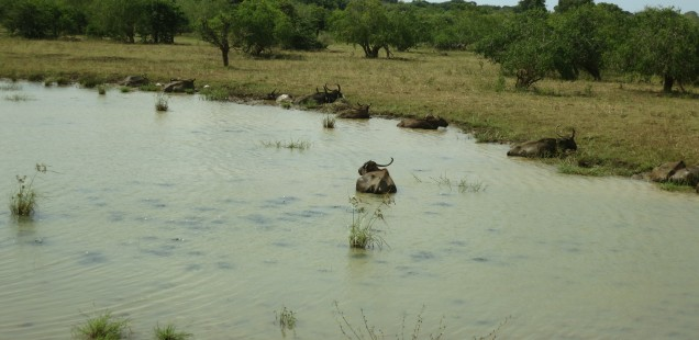 Water buffalos enjoying a dip.