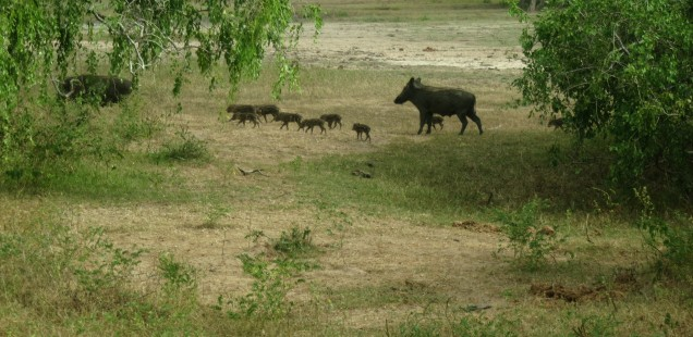 Wildboar family