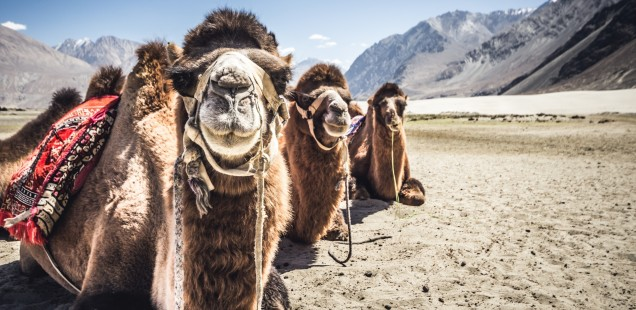 Double-humped Bactrian camels in Ladakh.