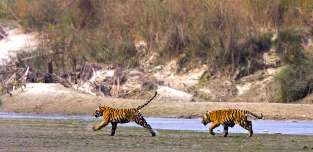 Real wild tigers seen on a safari at Ranthambore.