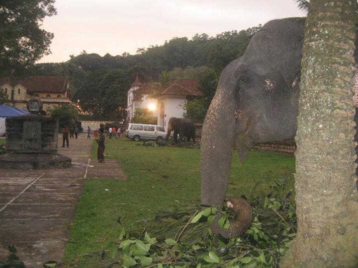 Elephants in the temple premises