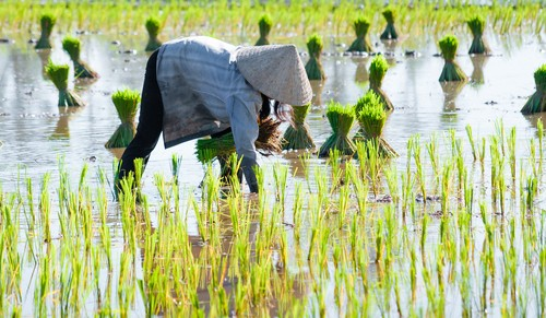 Farmer in paddy rice farmland