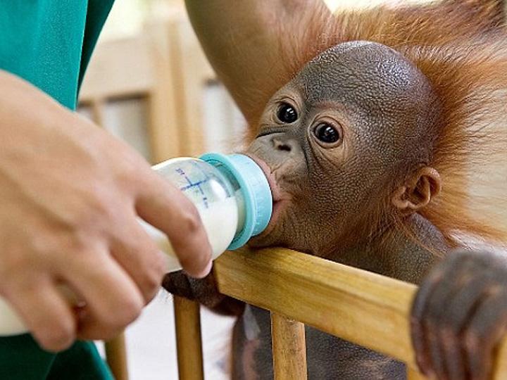 orang outans