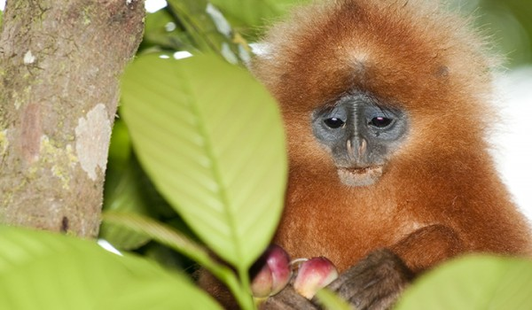 red leaf monkey with fruit malaysia