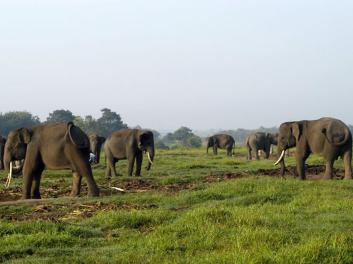 kambas elephants