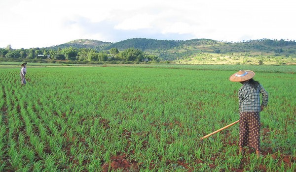 ricefield kalaw