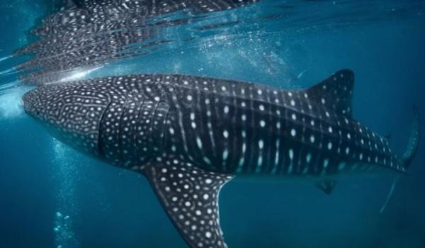 whale shark diving visayas cebu philippines