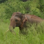 A wild elephant right by the road to Sigiriya!